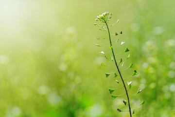 Shepherd Purse, Capsella bursa pastoris, Flower of Shepherd's purse.