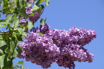 Beautiful purple lilac flowers outdoors. Lilac flowers on the branches