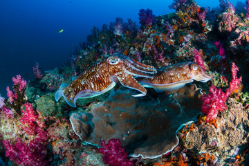 Mating Pharaoh Cuttlefish at dawn on a colorful tropical coral reef