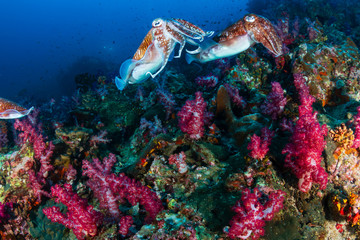 Wall Mural - Mating Pharaoh Cuttlefish at dawn on a colorful tropical coral reef