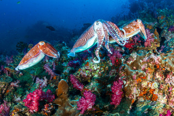 Mating Cuttlefish on a deep, colorful tropical coral reef