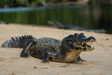 Photo sur Plexiglas Crocodile A large caiman, Caiman latirostris, walks down the beach to enter the Cuiaba River.