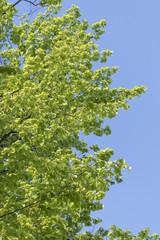 Fresh green leaves of beech.