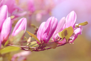 Spring blossoming branch of magnolia , natural floral background.