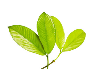 Mangosteen leaves, Tropical evergreen tree, Foliage of mangosteen isolated on white background with clipping path Wall mural