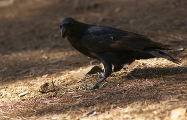 Detailed view of a black raven
