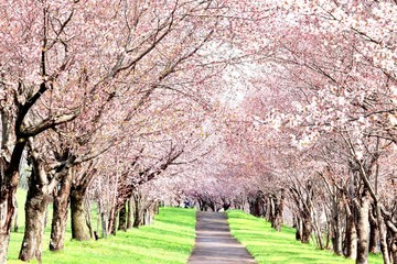 Foto op Canvas Kersenbloesem 桜のトンネル