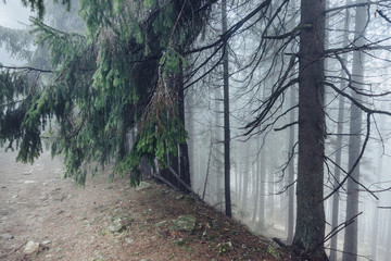 Misty forest on mountain slopes in sunlight. Location: Carpathian, Ukraine, Europe.