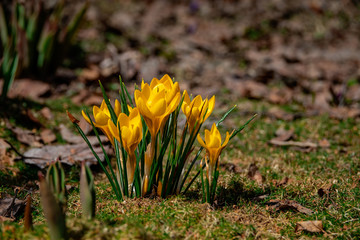 Young yellow crocus on the glade.