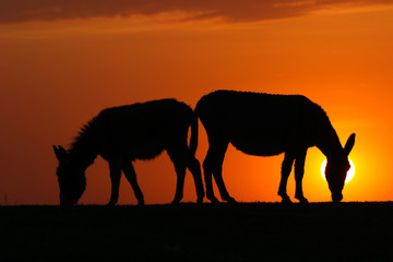 Silhouette of two donkeys on sunset