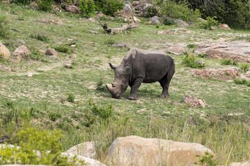 Rhinocéros blanc, femelle et jeune, Ceratotherium simum, Parc national Kruger, Afrique du Sud