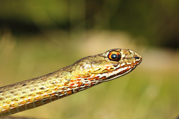 portrait of eastern montpellier snake