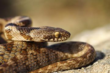 portrait of juvenile cat snake