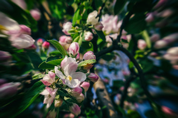 BLOSSOMING APPLE TREE - Spring flowers in an artistic garden