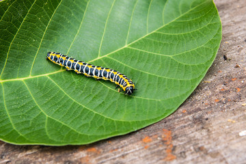 Beautiful black and yellow caterpillar creeps on big green leaf..