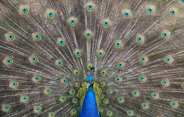 A peacock displays his plumage as part of a courtship ritual to attract a mate, at a park in London