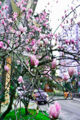 Magnolia Sulange blooming on background of green park bokeh. Spring blossom concept