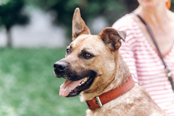 Adorable smiling dog with long ears looking at camera close-up, cute brown dog portait, pet shelter concept