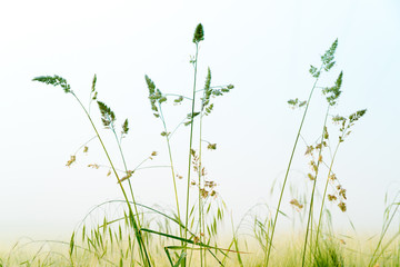 grass of the field in the fog