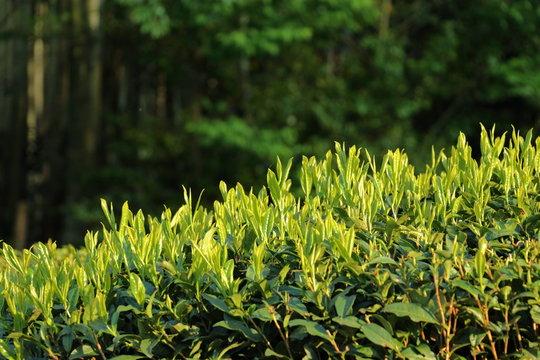 午後の太陽に照らされた日本茶の新芽