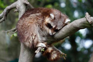 Sleeping raccoon lotor