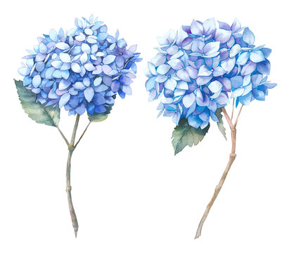 Watercolor blue hydrangea set. Hand painted botanical illustrations. Summer flowers isolated on white background