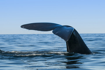 Whale tail fluke, Patagonia, Argentina