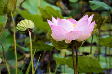 a beautiful pink blooming lotus in the pond
