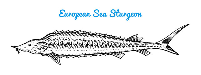 River and lake fish. European sea sturgeon. Sea creatures. Freshwater aquarium. Seafood for the menu. Engraved hand drawn in old vintage sketch. Vector illustration. Symbols of the ocean.