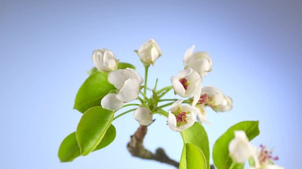 Fotoväggar - Apple tree flowers blooming closeup. Gardening concept. Blossoming apple tree. Time lapse. 4K UHD video 3840X2160
