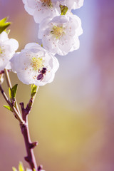 white delicate plum tree flowers and a bee collecting nectar close-up