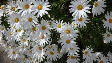 Beauty in White Daisy