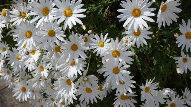 Beauty in White Daisy