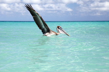 Brown pelican fishing, Varadero, Cuba