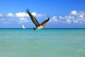 Brown pelican flies, Varadero, Cuba