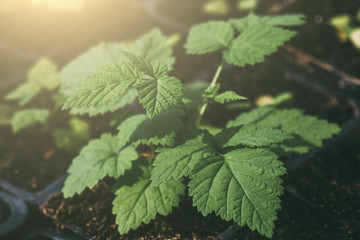 Raspberry bush in sunlight, plant with green leaves in greenhouse, agriculture gardening, macro
