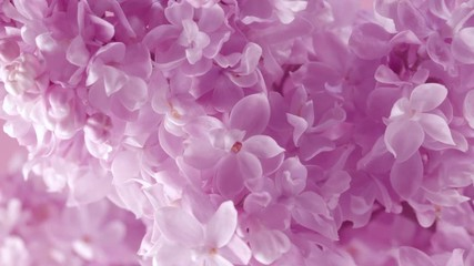 Fotoväggar - Lilac. Blooming violet lilac flowers closeup. Spring scene. Opening flowers time lapse. 4K UHD video 3840X2160