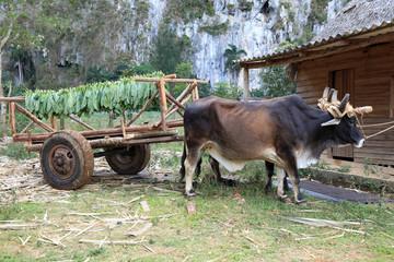 Oxcart with tobacco, Vinales, Cuba