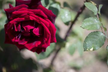 Single Beautiful Rose