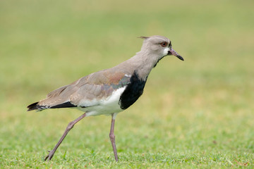 Young Southern Lapwing (Vanellus Chilensis)
