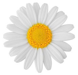 Lovely white Daisy (Marguerite) isolated on white background, including clipping path. Germany
