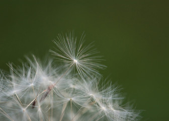 Macro Dandelion Seed Atop Puff with Green Background