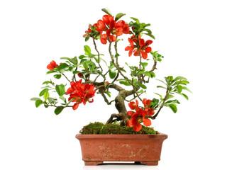 Bonsai - Blüte