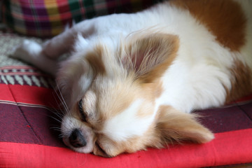 White and brown female Chihuahua dog sleeping on seat pad.