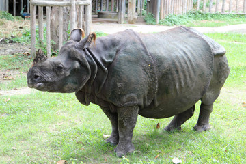 Rhinoceros standing on green grass in the zoo.