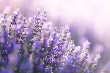 Papiers peints Lavande Close-up view of Lavender in Provence, France