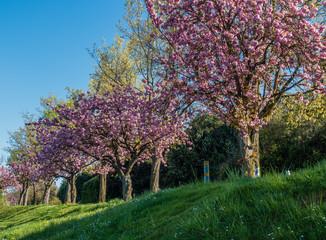 Blossoms Along Lake Washington 3
