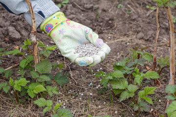 Farmer hand dressed in a glove giving chemical fertilizer to soil next to the raspberry bushes in the garden