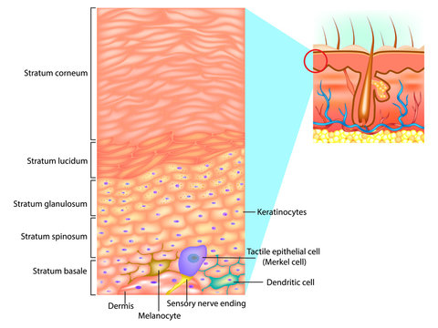 Epidermal cells and layers of the epidermis. This illustration shows a cross section of the epidermis.