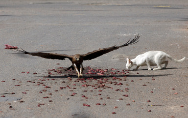 Black kite flies past a cat to catch a piece of meat in Karachi